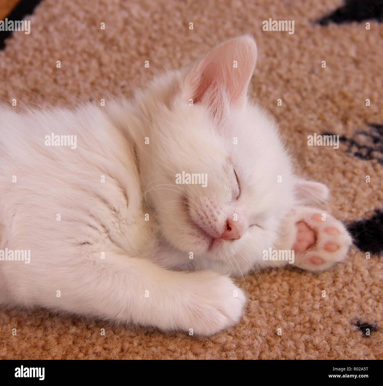 white kitten, 5 weeks old, sleeping - Stock Image