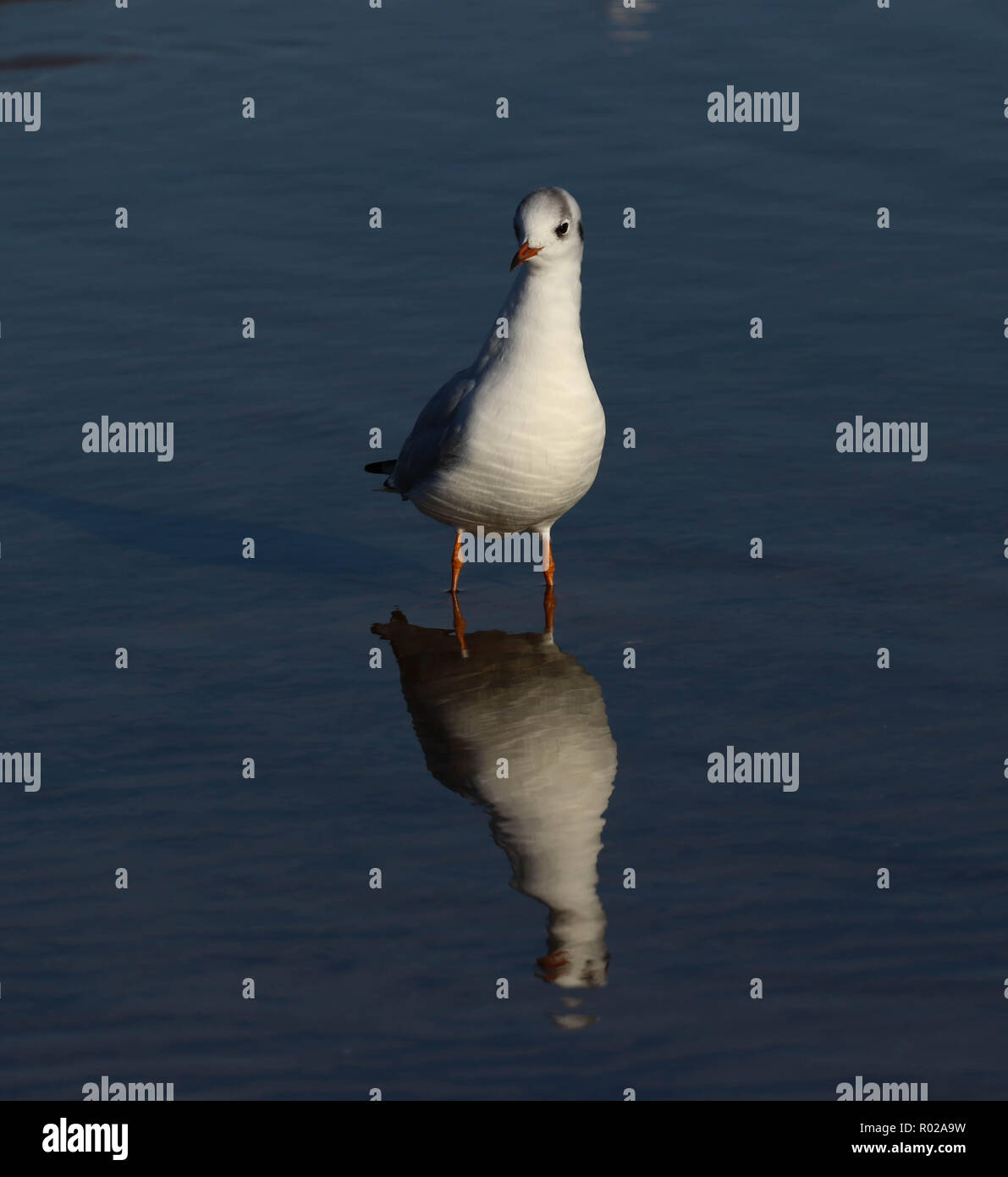 Seagull sitting in the sea - Stock Image