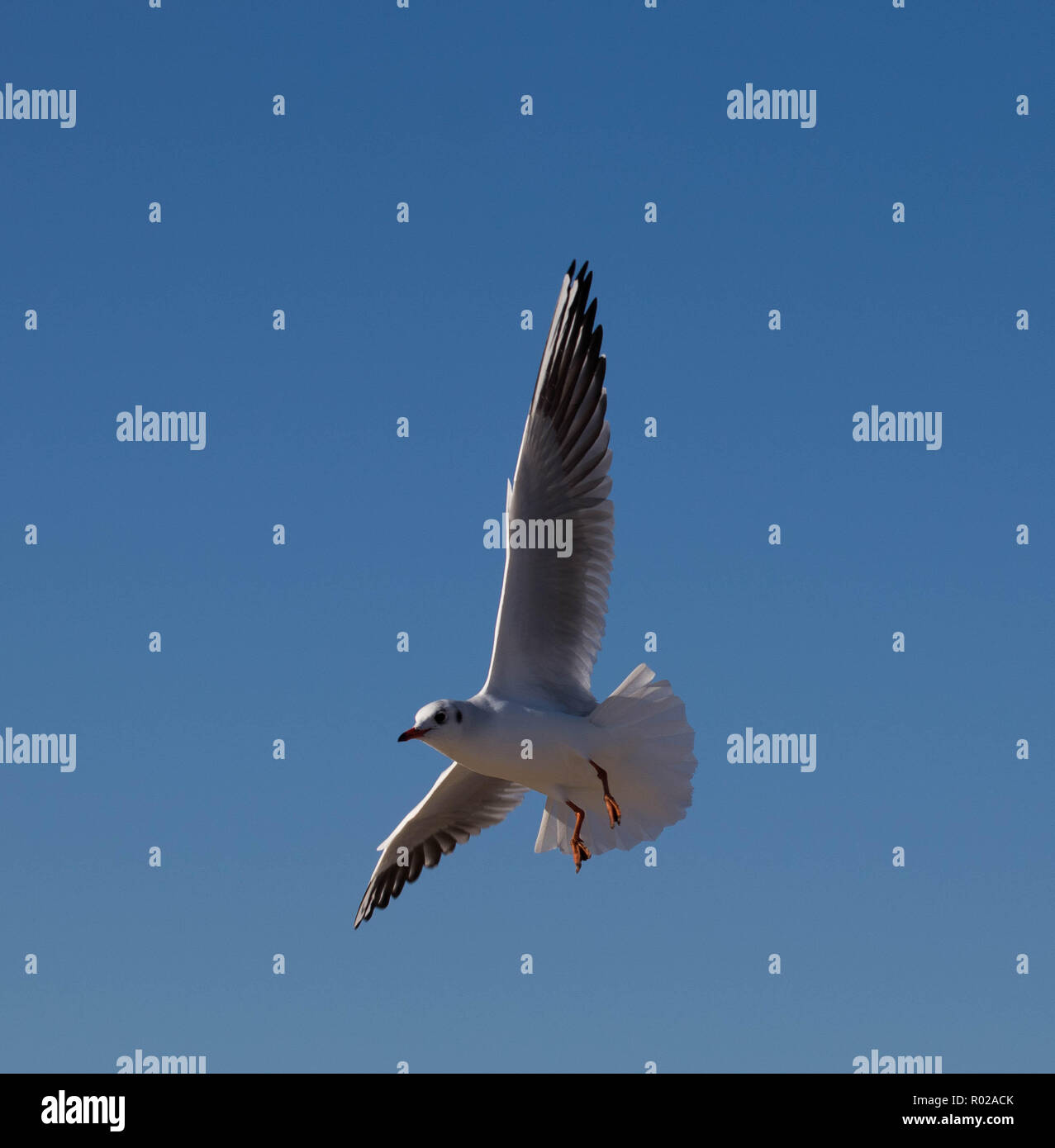 Flying seagull - Stock Image