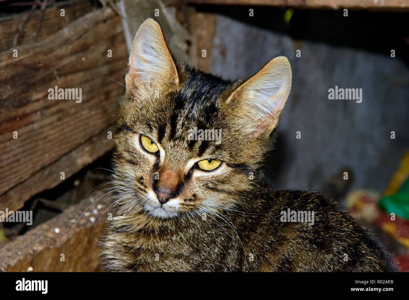 Portrait of a dark grey tabby kitten showing a resentful look, while being on prowl in a garret Stock Photo