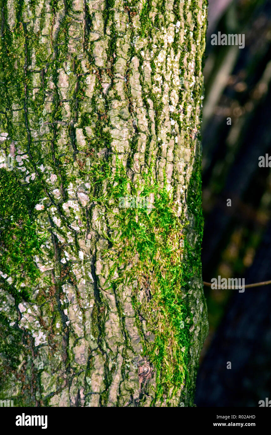 Close-up view on green moss growing on the white bark of an oak tree trunk Stock Photo