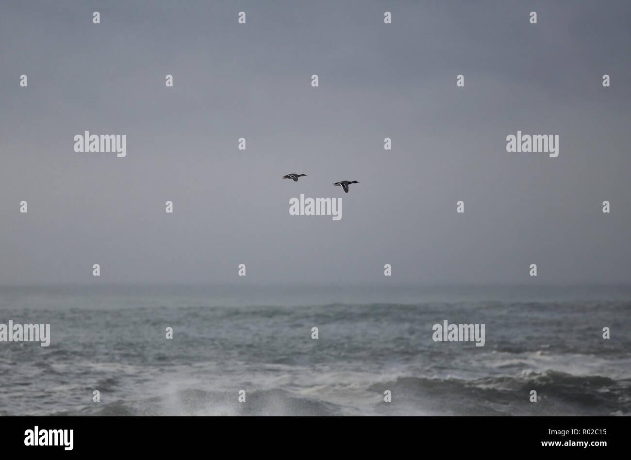 Two ducks in flight over northern portuguese sea coast against dark sky - Stock Image