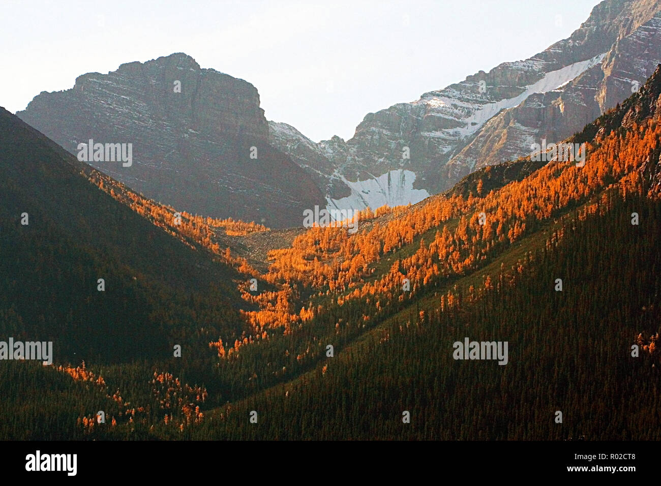 Larch trees. These needled conifers look like evergreens in spring and summer, but in the fall the needles turn golden yellow and drop to the ground. - Stock Image