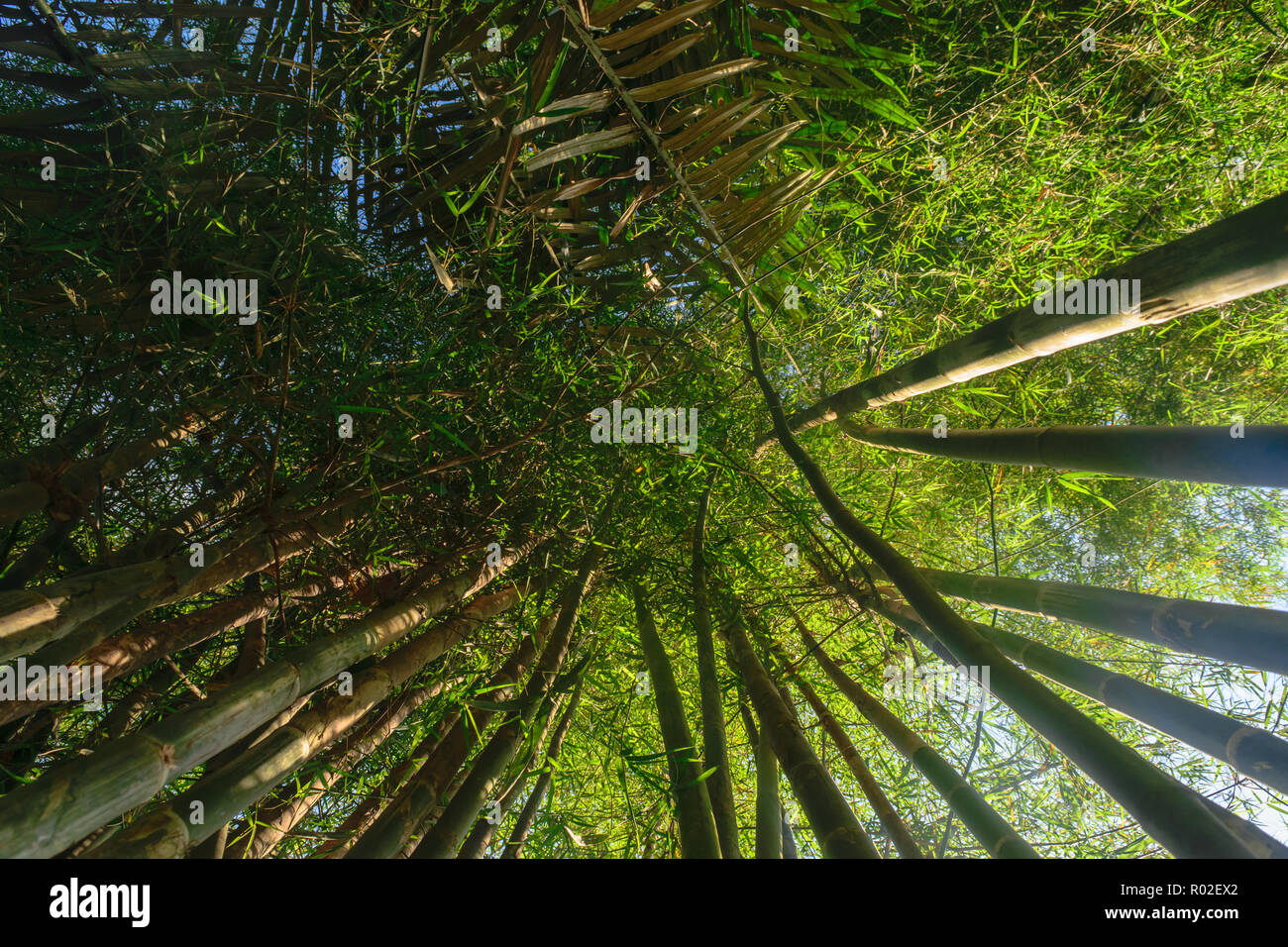 Up view from the ground of green and big bamboo tree trunks in rainforest with beam of the sun Stock Photo