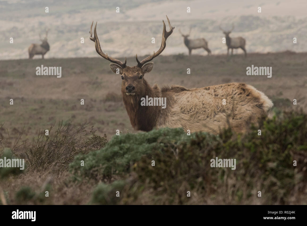 Tule elk (Cervus canadensis nannodes) a subspecies endemic to California once nearly went extinct, today they can easily be seen at Pt. Reyes, CA. Stock Photo