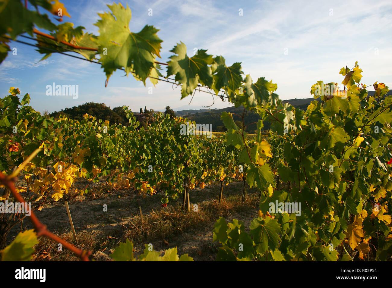 vineyard in Monterongriffoli, near Montalcino, province of