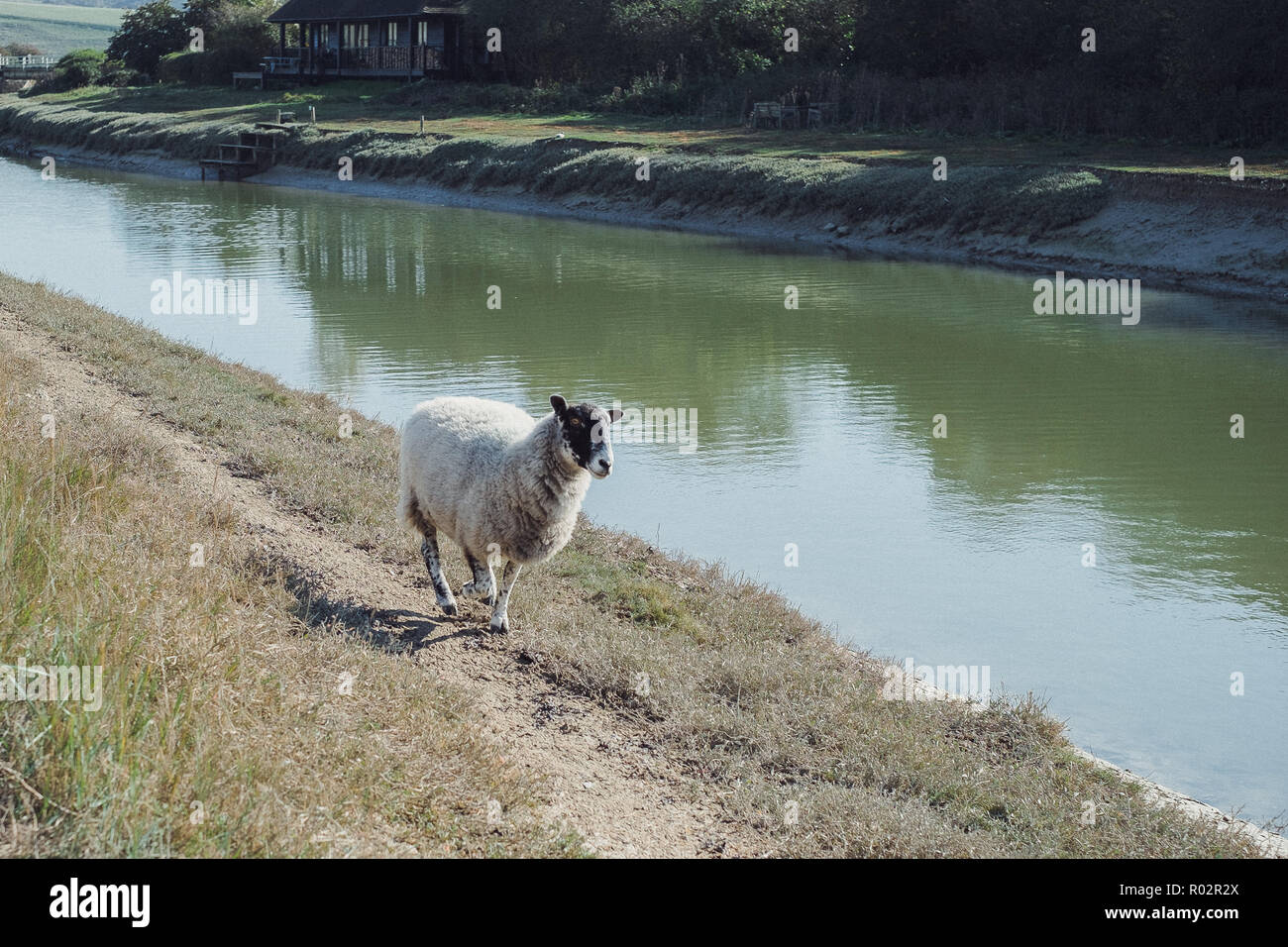 Sheep running along the bank of the River Cuckmere, near Alfriston, Wealden, East Sussex, England, UK - Stock Image