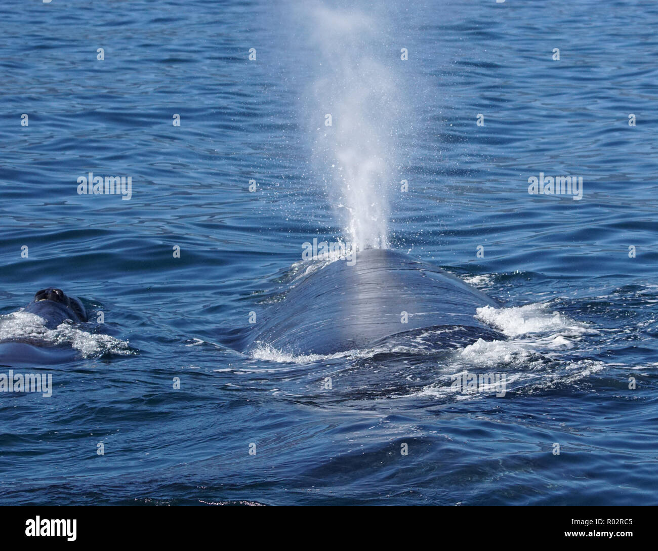 Blowing Whale Mother and Baby - Stock Image