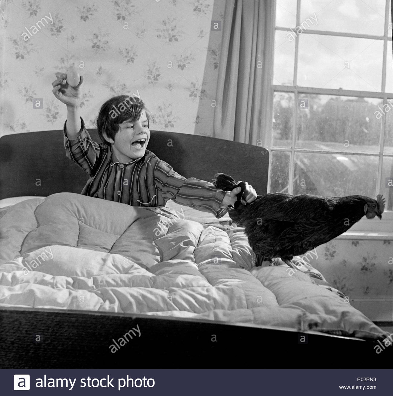 Vintage b&w photograph of boy with pet hen that laid eggs in his bed. - Stock Image