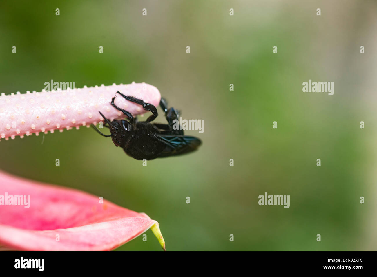 Black bumble bee, Bombus atratus, collecting pollen from the spadix of an anthurium flower Stock Photo