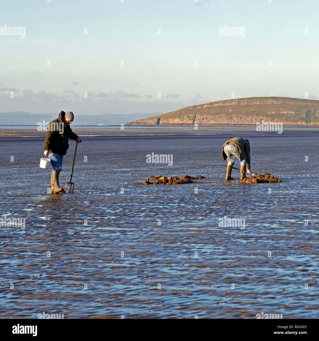 Men digging lugworms for fishing bait on Brean beach - Stock Image