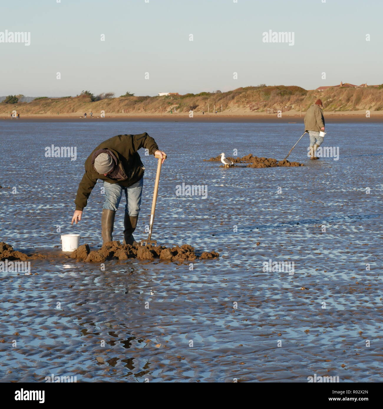 Men digging lugworms for fishing bait on Brean Beach, Somerset, Bristol Channel. UK - Stock Image