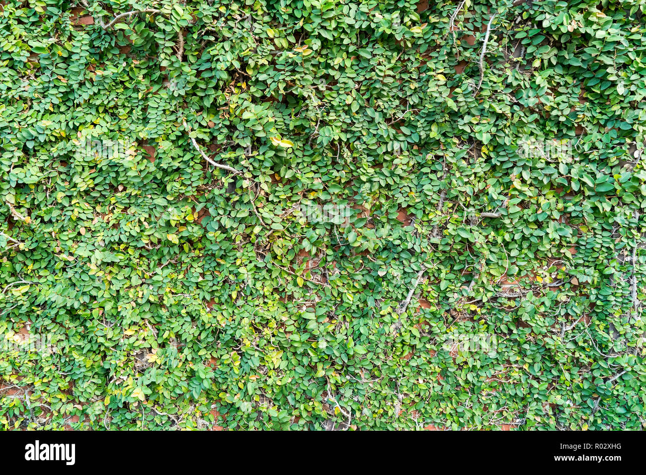 Background of Velcro green plant climbing on red wall - Stock Image