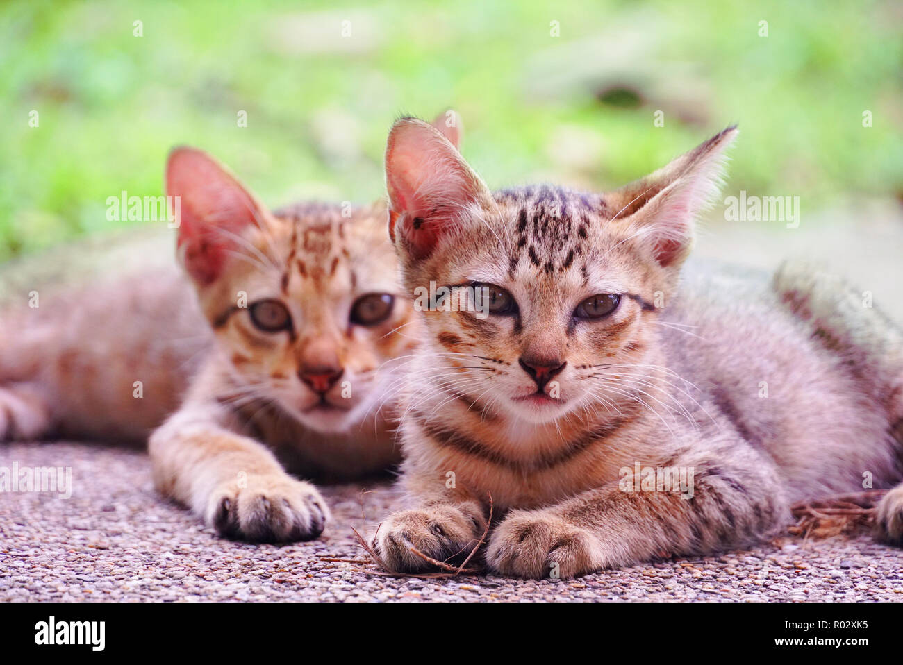 Portrait two cute kittens sit on ground - Stock Image