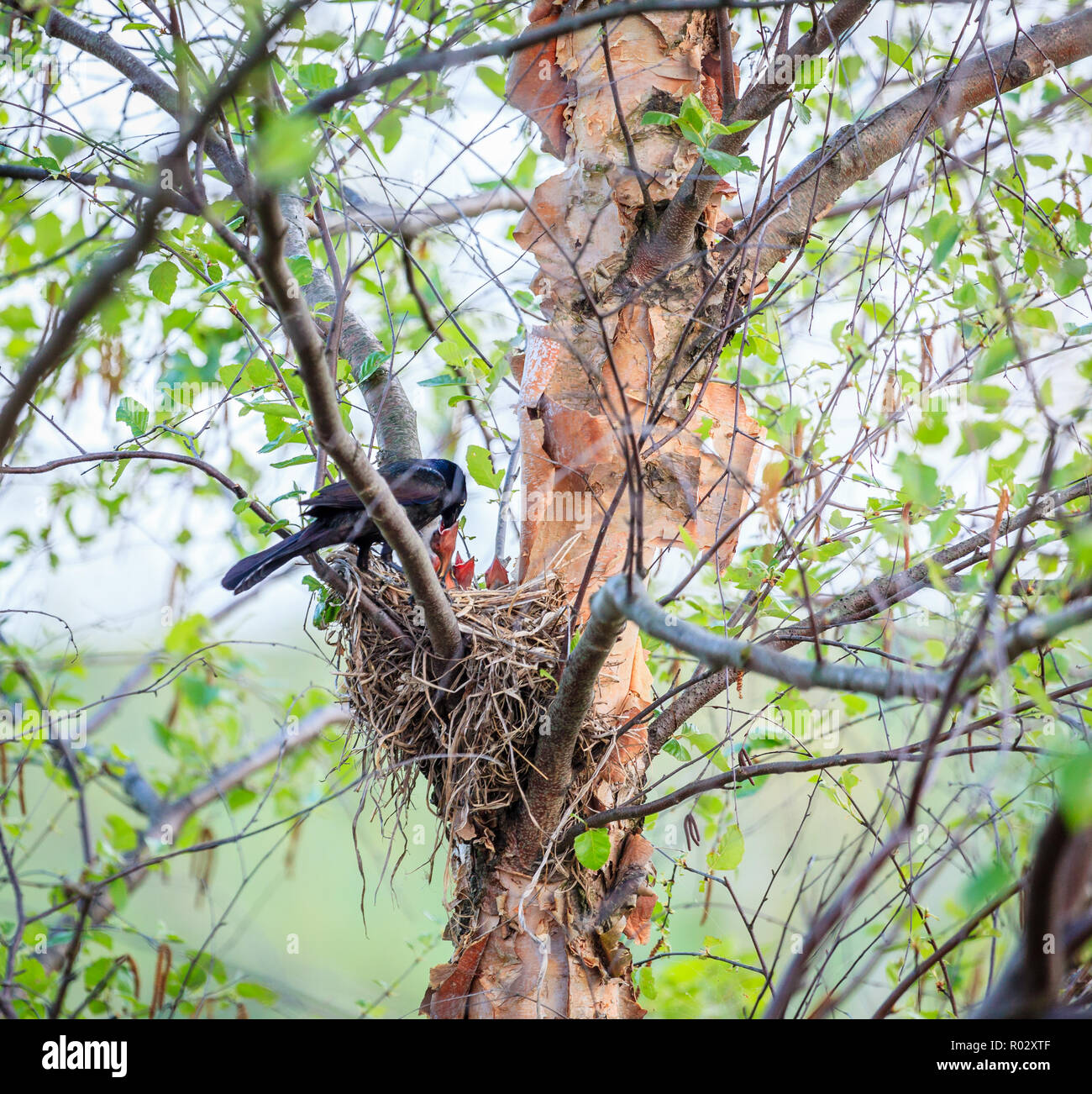 A bird feeding its hatchlings in the nest - Stock Image
