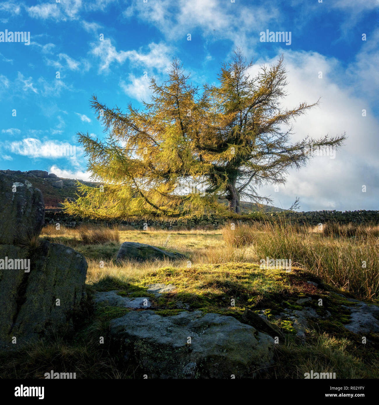 Single larch tree in autumn colours, Ilkley moor, West Yorkshire, UK - Stock Image