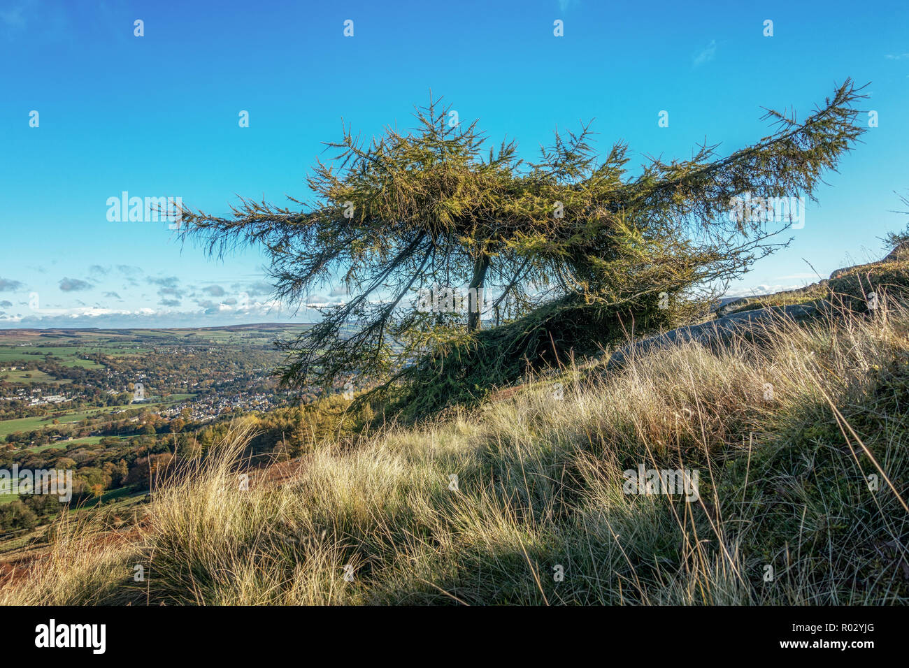 Single larch tree in autumn colours on Ilkley moor with Ilkley town below, West Yorkshire, UK - Stock Image