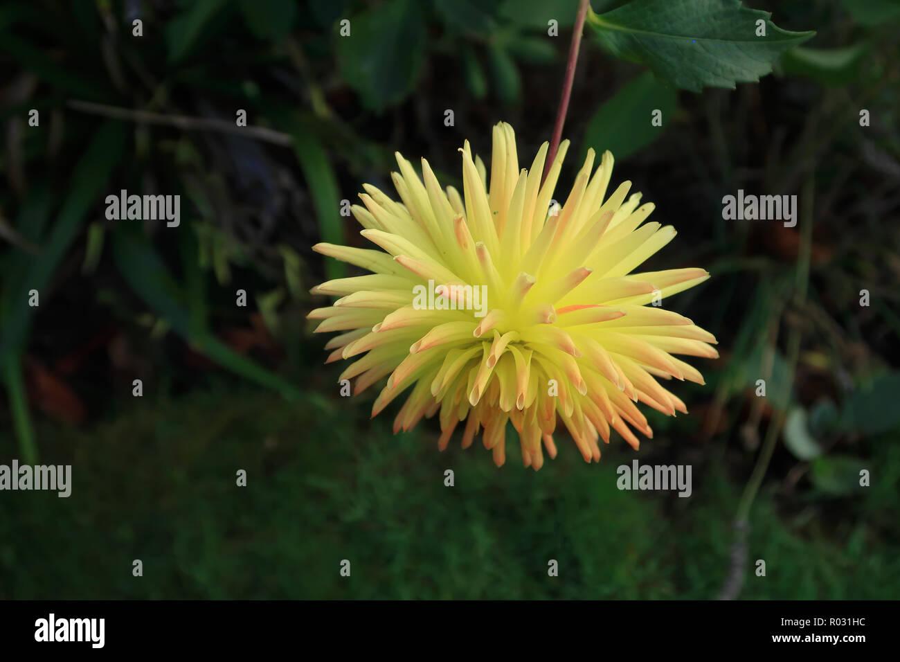 single yellow semi cactus Dahlia - Stock Image