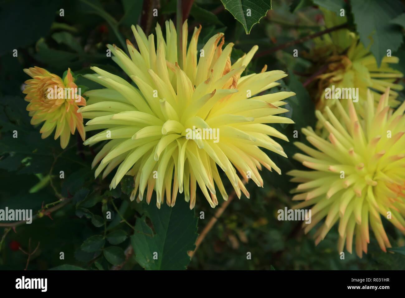 Yellow Semi cactus Dahlia - Stock Image