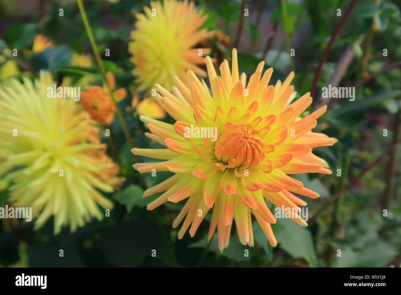 Yellow and Red Semi cactus Dahlia - Stock Image