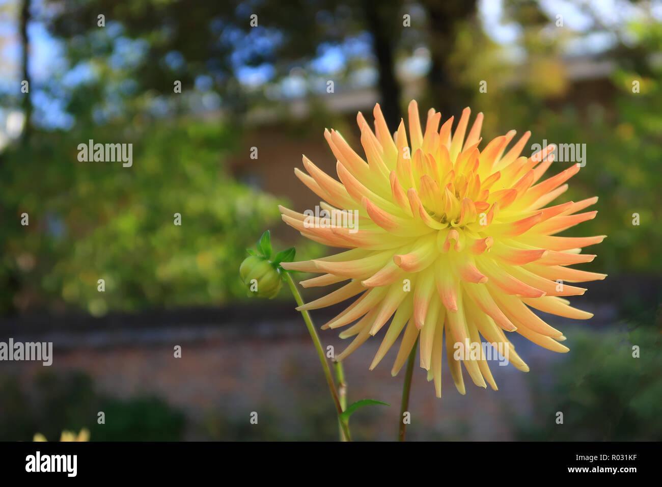 Yellow petals of the semi cactus Dahlia - Stock Image