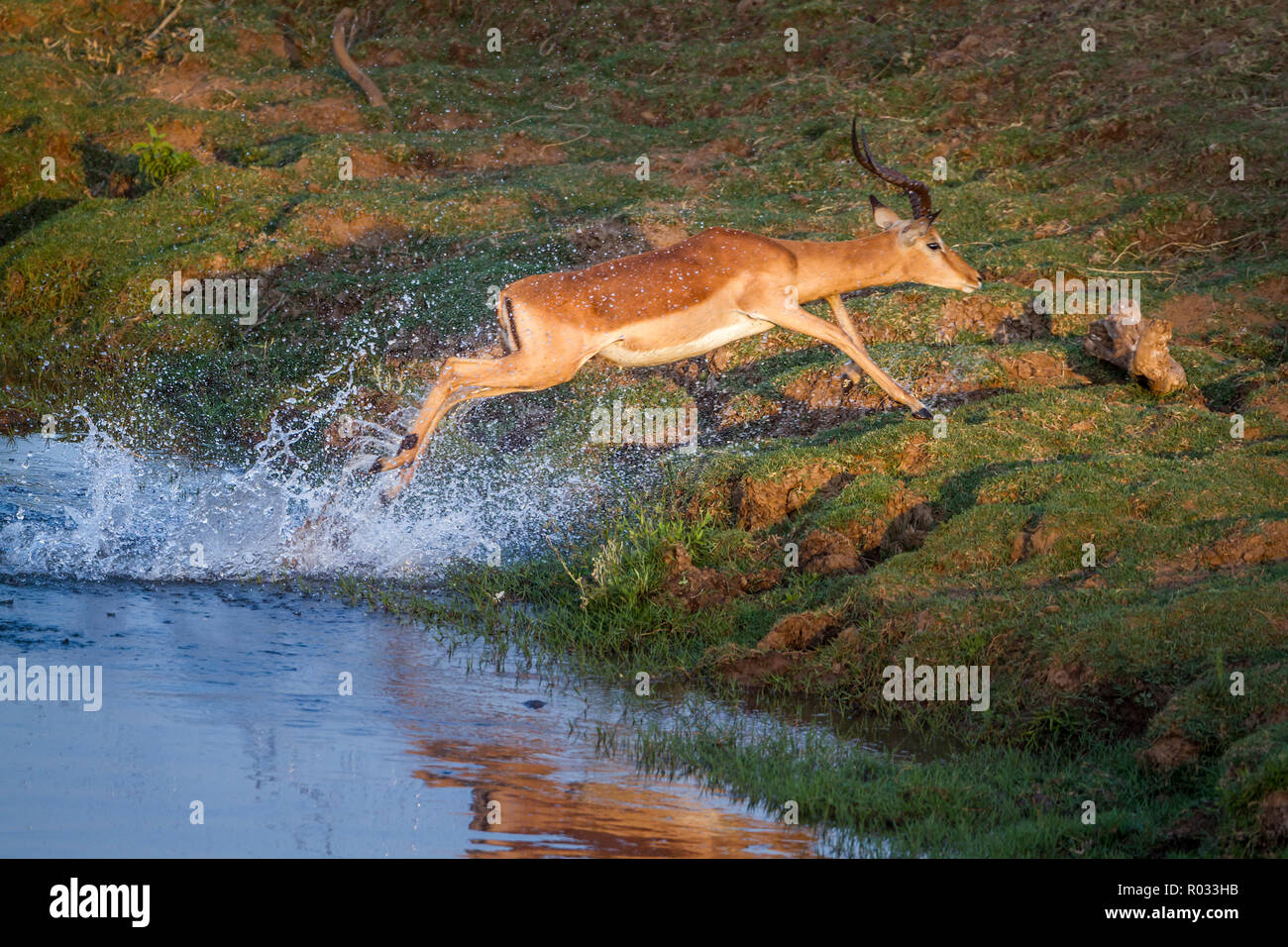 Common Impala in Kruger National park, South Africa ; Specie Aepyceros melampus family of Bovidae Stock Photo