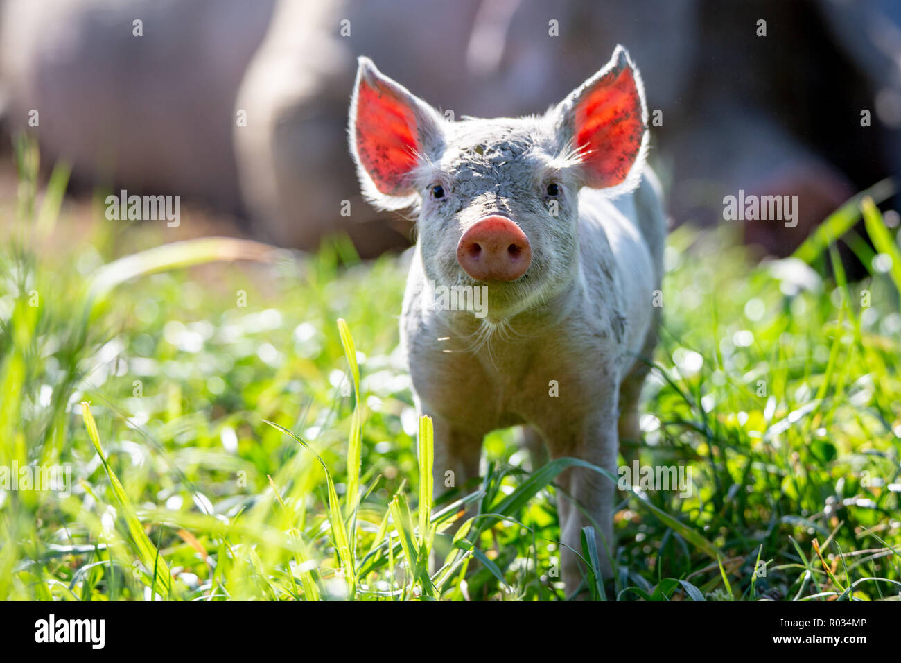 A curious little piglet has the sun behind him, lighting up his ears, in a field on a free range pig farm in New Zealand - Stock Image