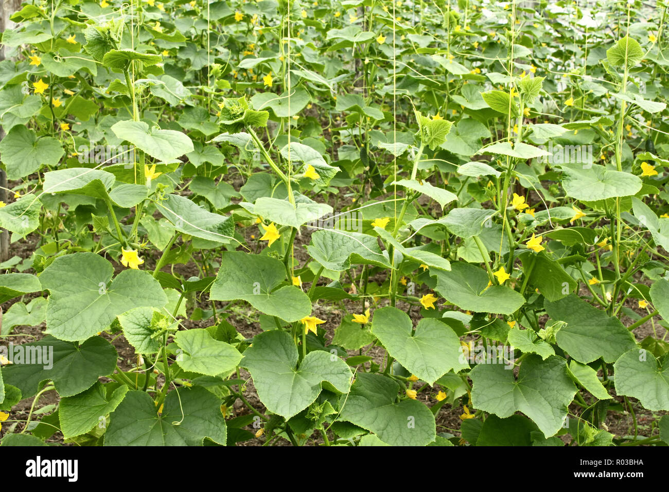 Cucumbers plants flowering in film greenhouses. The rapid growth in summer Stock Photo