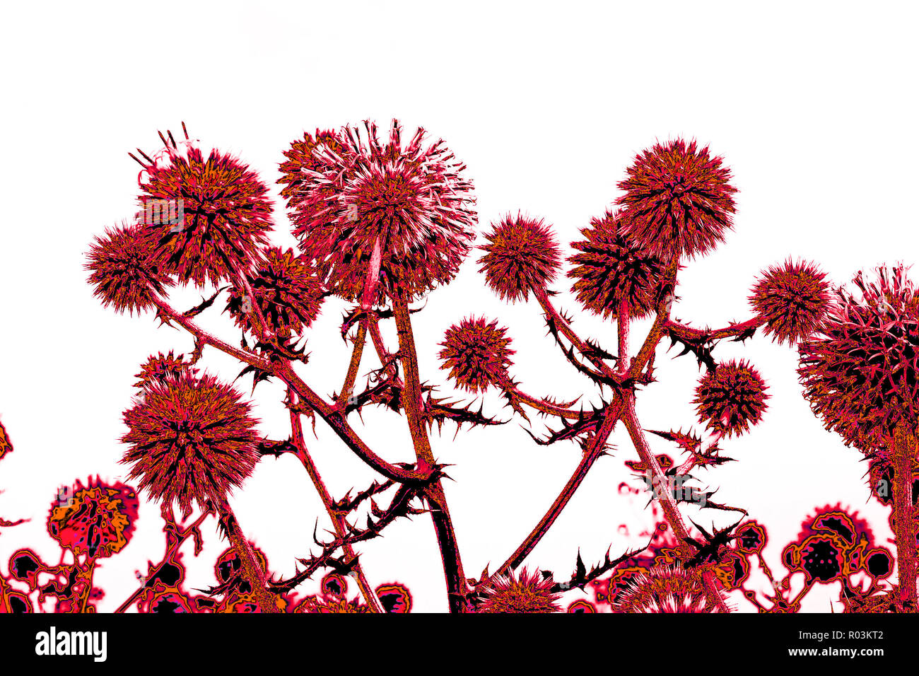 Spherical thistle flowers (Echinops ritro) on the black background. Toned herbal texture in reddish colors - Stock Image