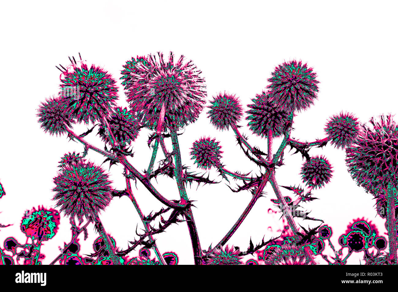 Spherical thistle flowers (Echinops ritro) on the black background. Toned herbal texture in bright colors - Stock Image
