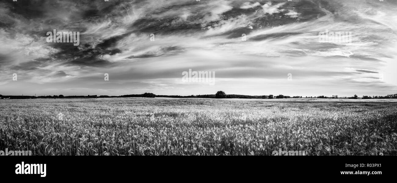 Wheat field. Ears of golden wheat close up. Beautiful Nature Sunset Landscape. Rural Scenery under Shining Sunlight. Background of ripening ears - Stock Image