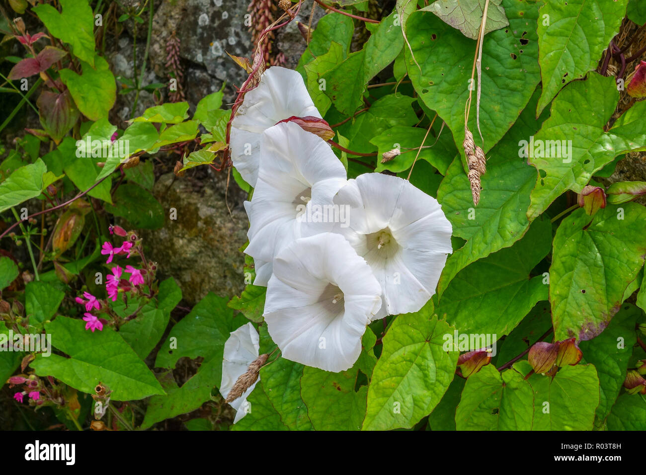 The white trumpet like flowers of Convolvulus arvensis, field bindweed, bindweed or morning glory - Stock Image