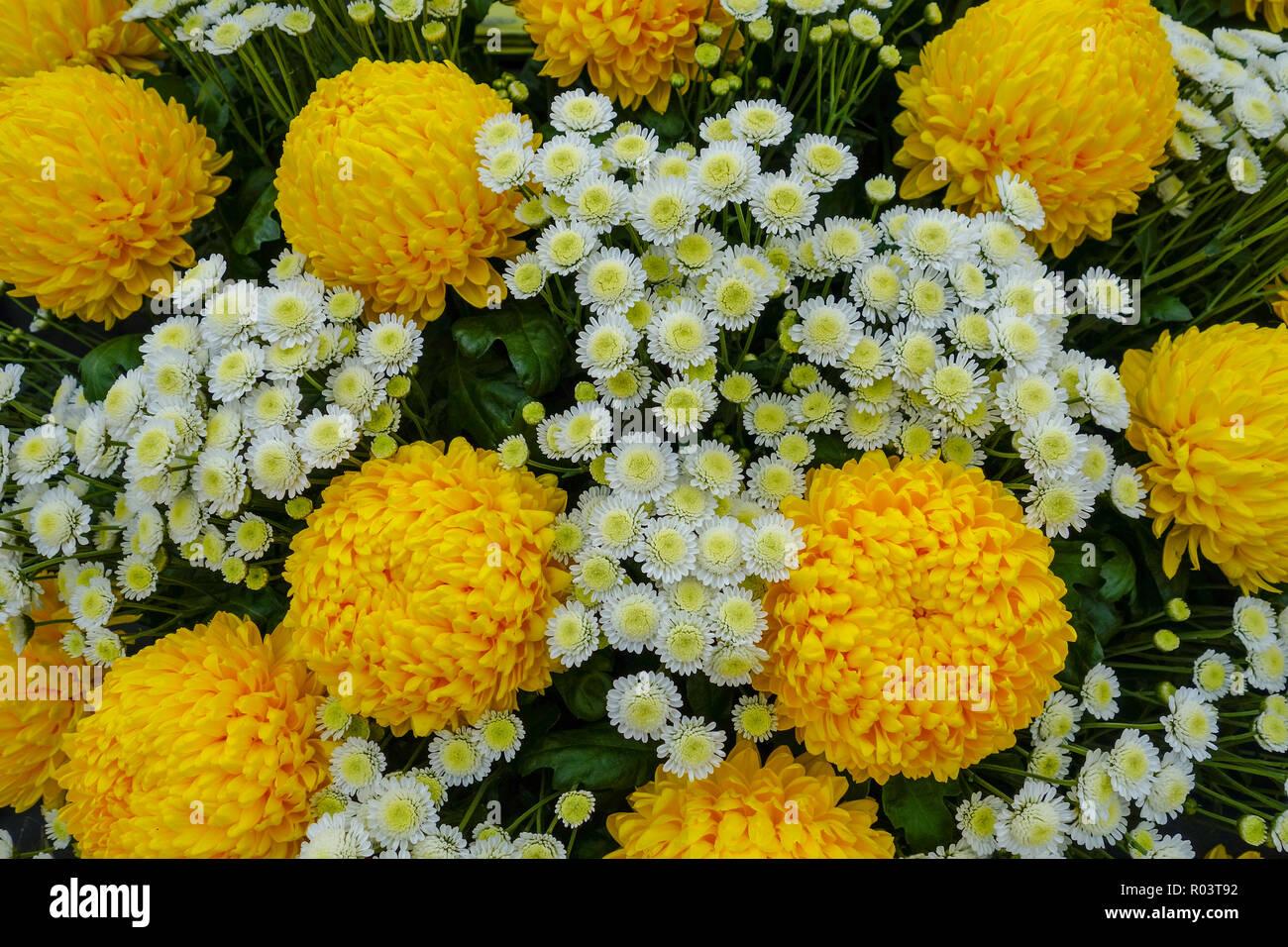Chrysanthemum 'Misty Golden' and 'Stallion' flowers - Stock Image