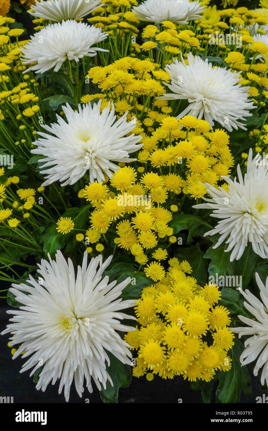 Chrysanthemum 'Delistar' and 'Stallion Yellow' flowers - Stock Image