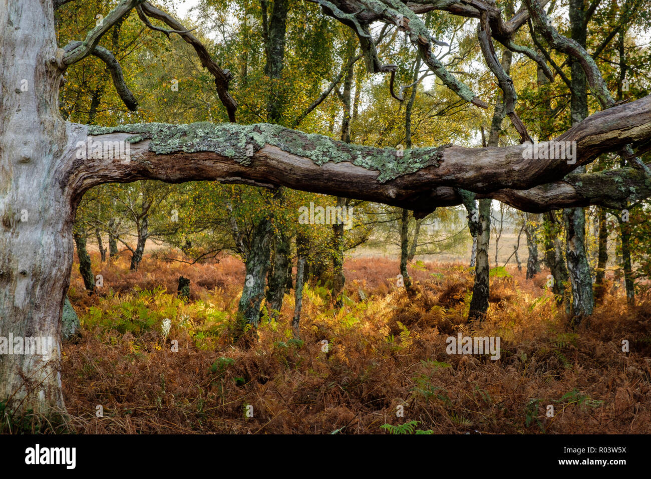 Beech Tree and Silver Birch Denny Wood The New Forest Hampshire England UK Stock Photo
