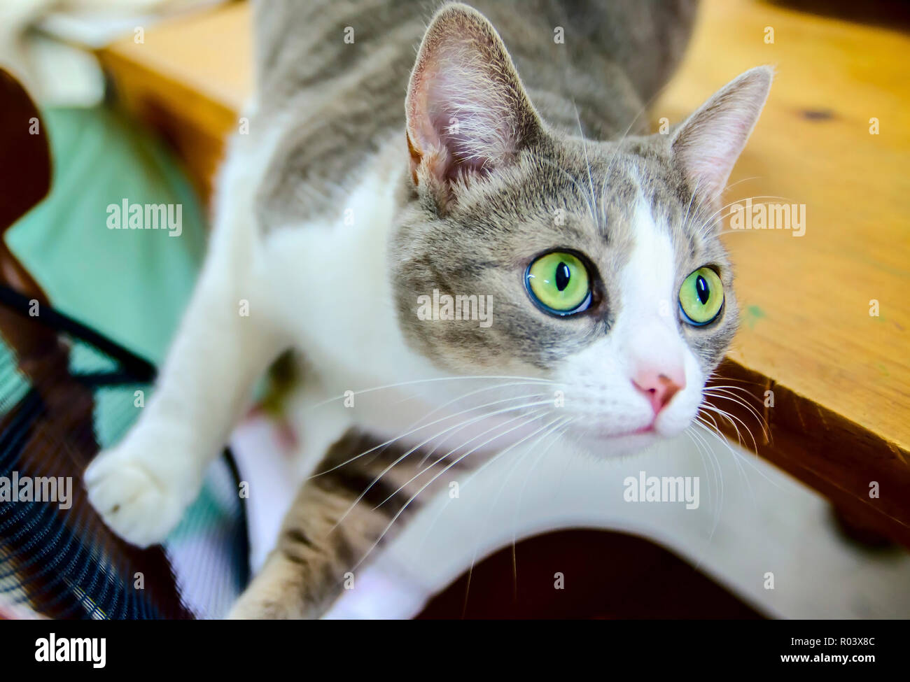 Purl, a domestic shorthair tabby cat, oversees a knitting project at Yarns and More in West Point, Mississippi. Stock Photo