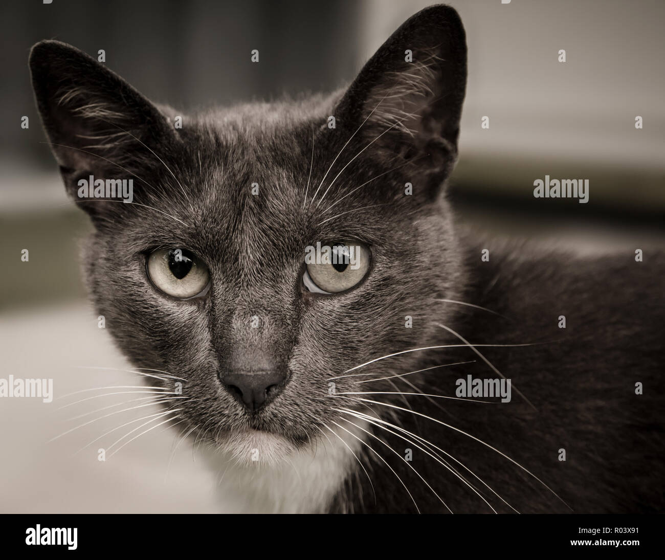 Sissy, a gray, domestic short-haired cat, enjoys an afternoon outside on the front porch. - Stock Image