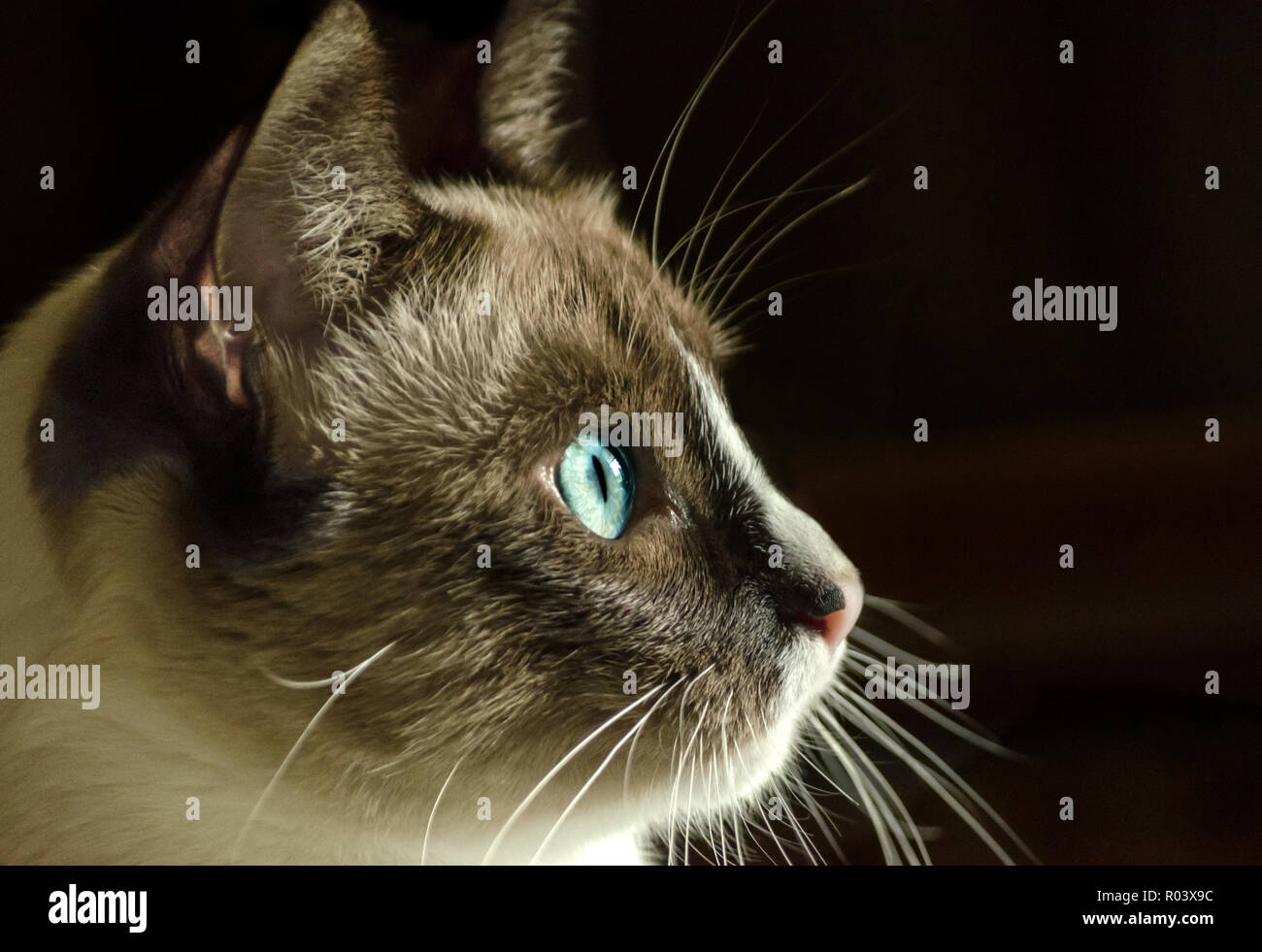Twinkie, a Siamese kitten, stares out the window in Coden, Alabama, June 19, 2014. - Stock Image