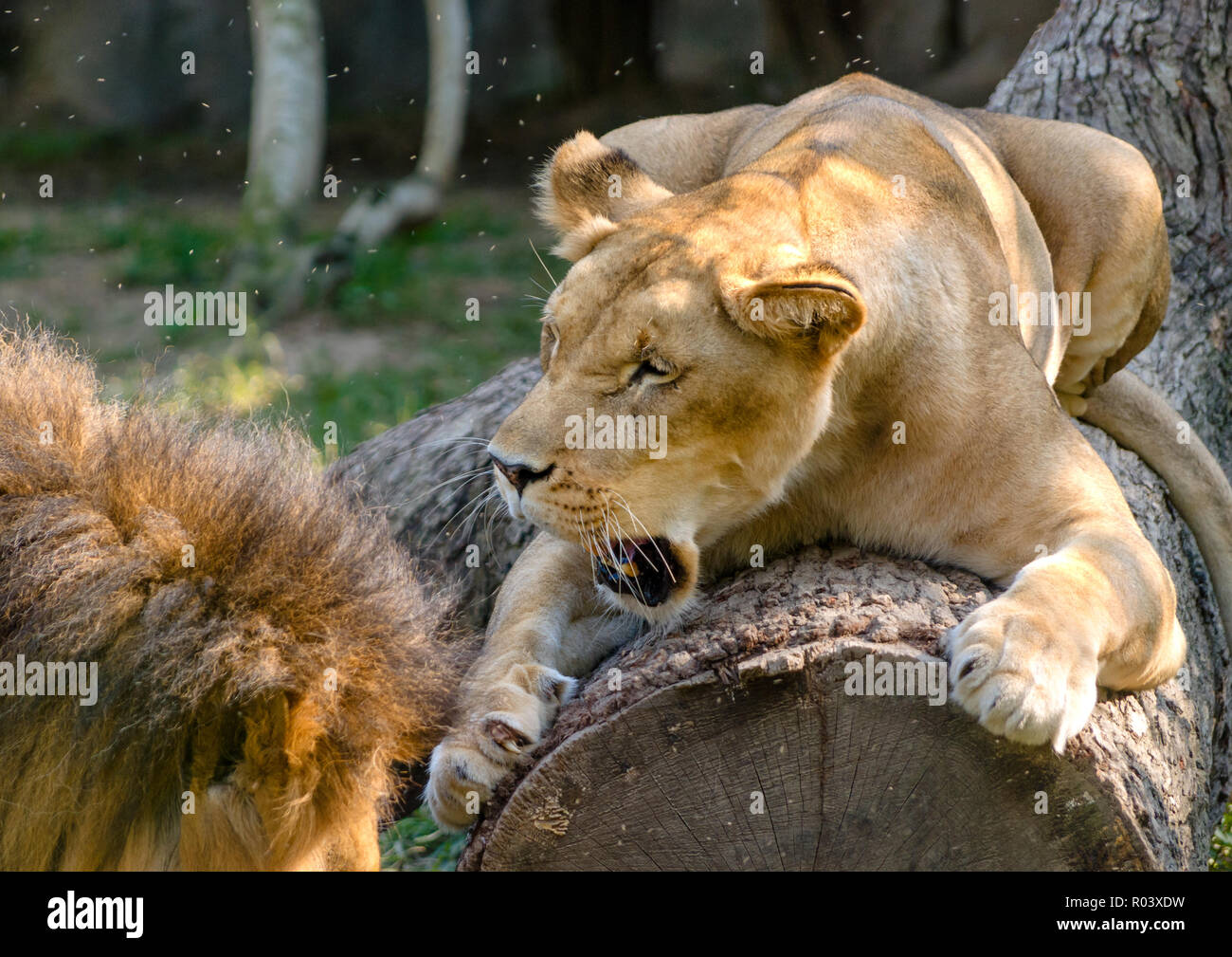 An African lioness (Panthera Leo) scratches a log and snarls as her mate approaches at the Memphis Zoo, September 8, 2015, in Memphis, Tennessee. - Stock Image