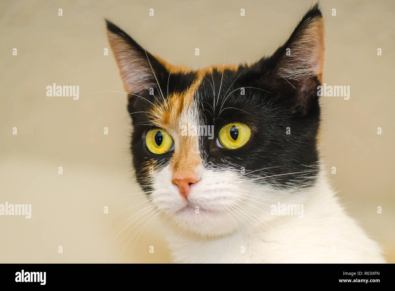 Pumpkin, a one-year-old calico kitten, is pictured, October 30, 2015, in Coden, Alabama. - Stock Image