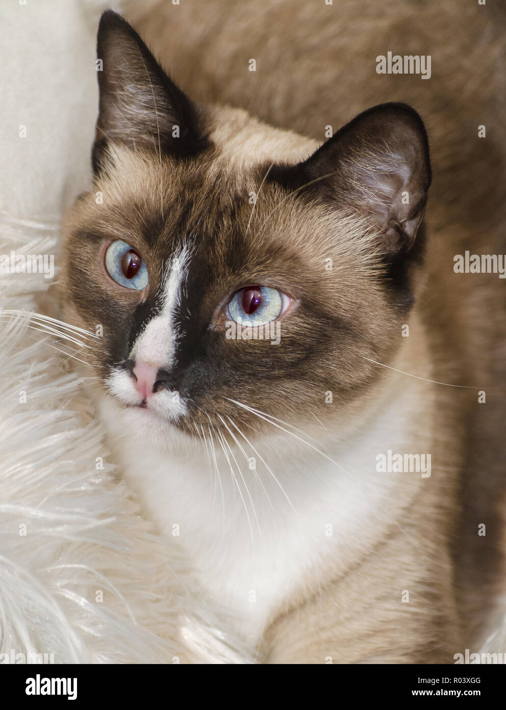 Twinkie, a two-year-old Siamese cat, is pictured, Oct. 30, 2015, in Coden, Alabama. - Stock Image