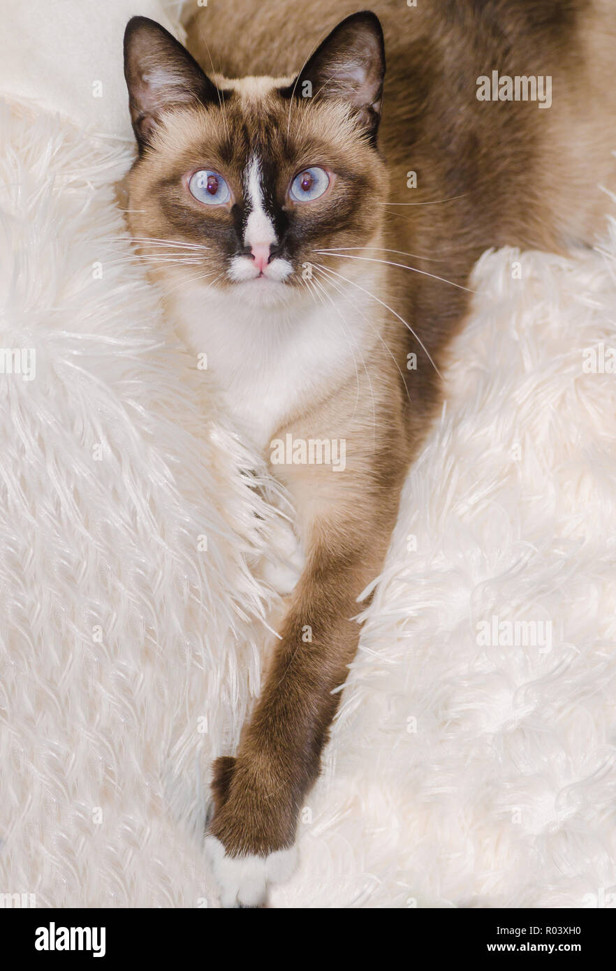 Twinkie, a two-year-old Siamese cat, rests on a white blanket, October 30, 2015. - Stock Image