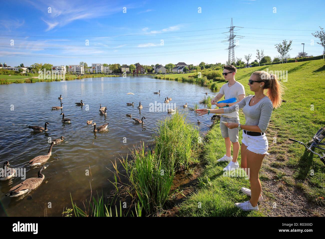 Essen, Ruhr area, Germany, urban development project Niederfeldsee, young couple feeds Canada agaenas - Stock Image