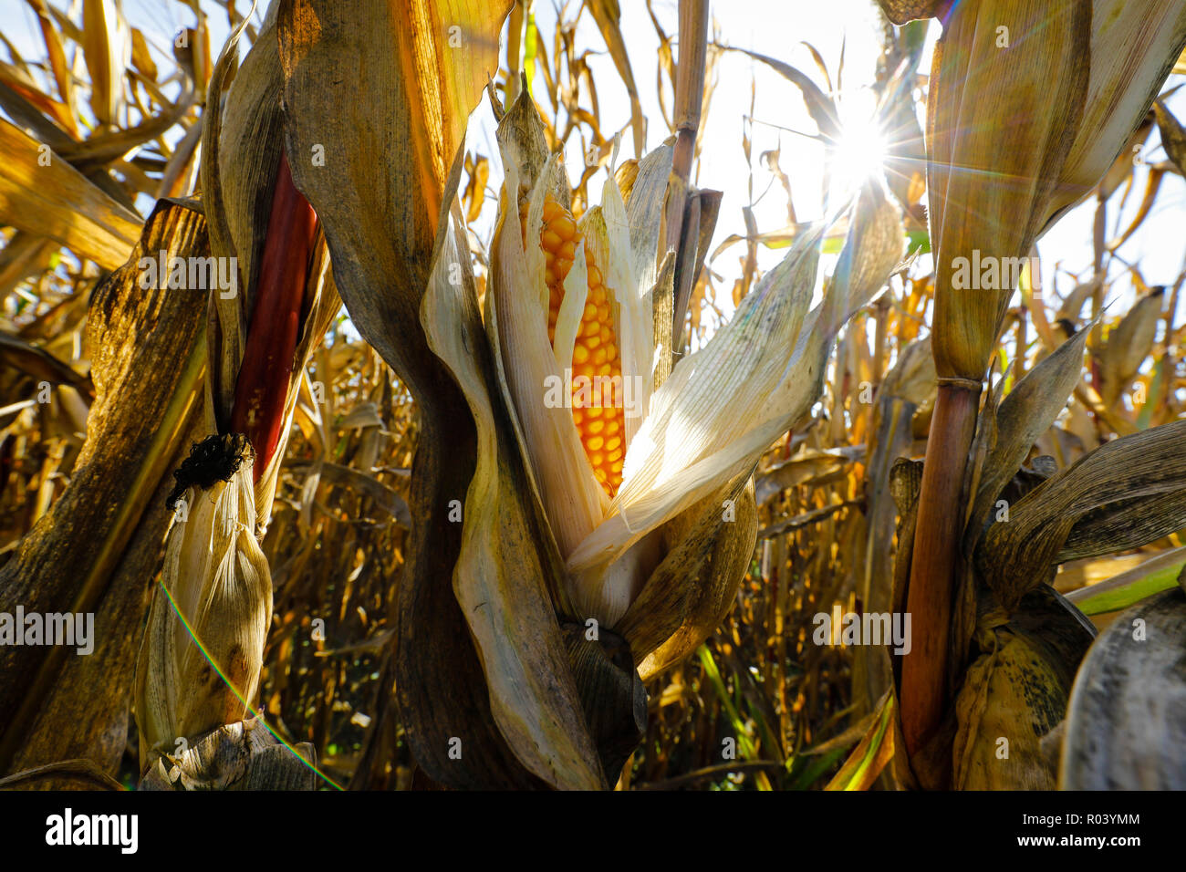 Maize field in hot summer, Germany - Stock Image
