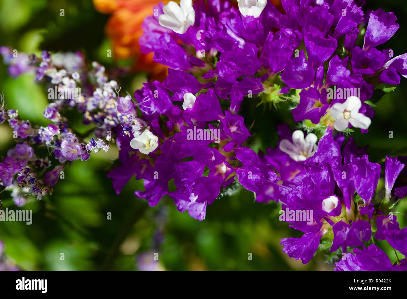 Macro view of beautiful purple and white statice flowers in an indoor arrangement - Stock Image