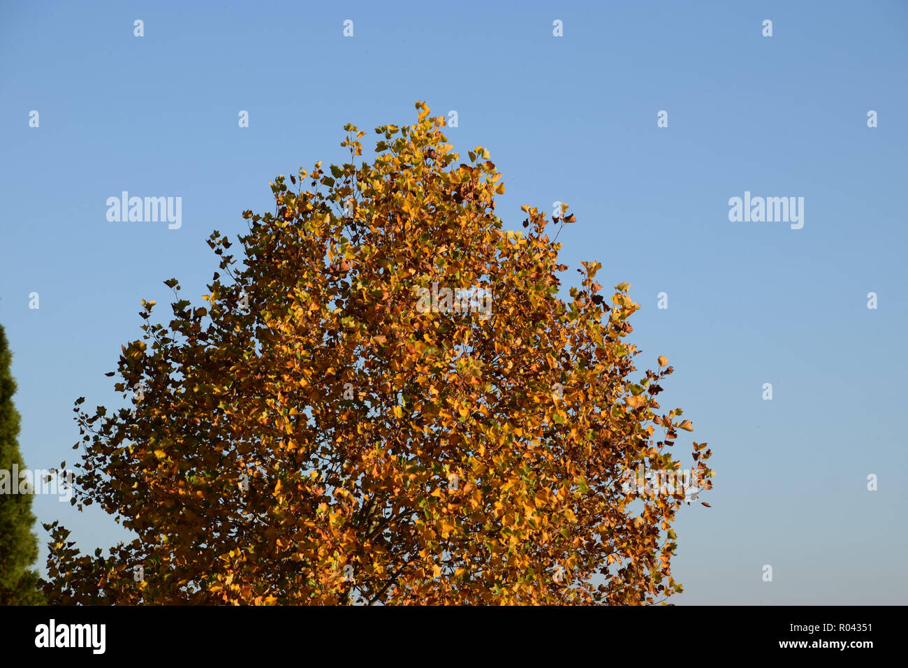 autumnal deciduous tree as a symbol for the end of the year, autumnal rural scene with colorfully colored deciduous tree and clear blue sky - Stock Image