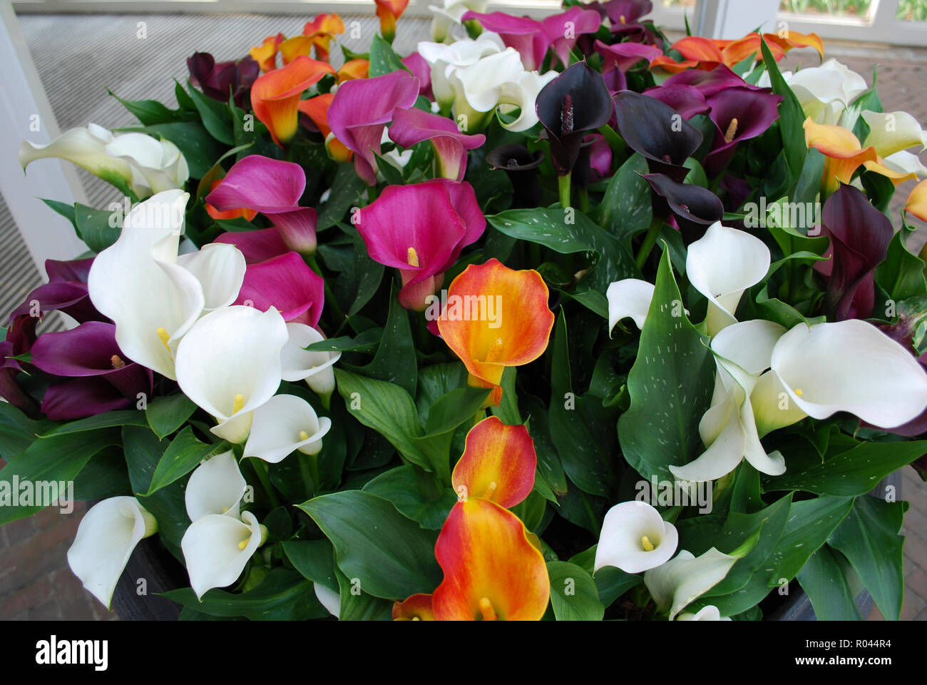 Bouquet of multi color callas (orange, purple, white, red, yellow). Spring time in Netherlands. - Stock Image