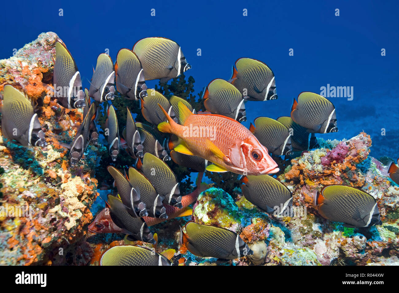 A Squirrelfish (Sargocentron spiniferum) between a group Collared butterflyfish (Chaetodon collare), Ari Atoll, Maldive islands - Stock Image