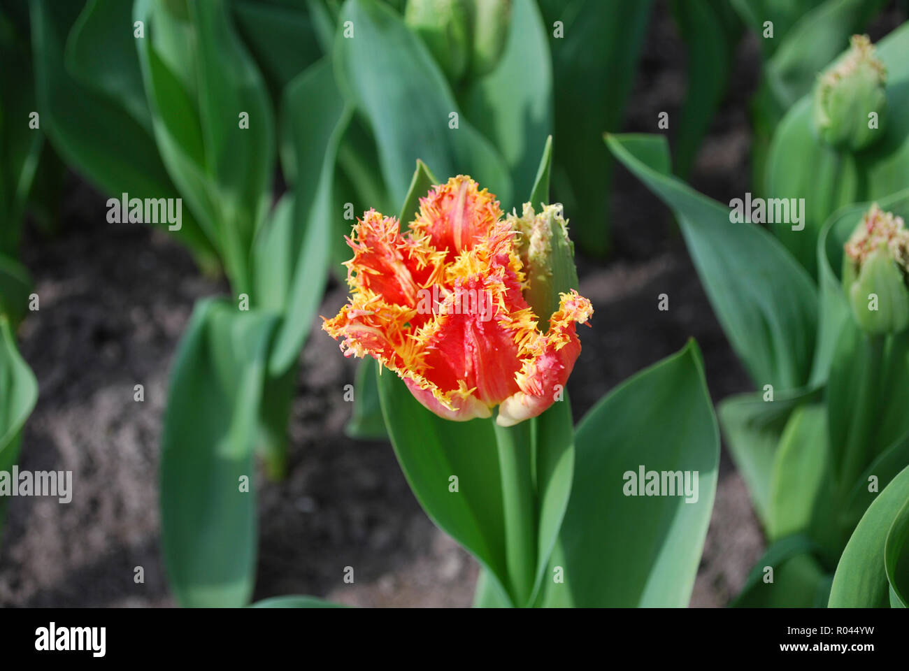 Tulip Joint Devison (Fringed Group) grow in the flowerbed. Spring time in  Netherlands. - Stock Image