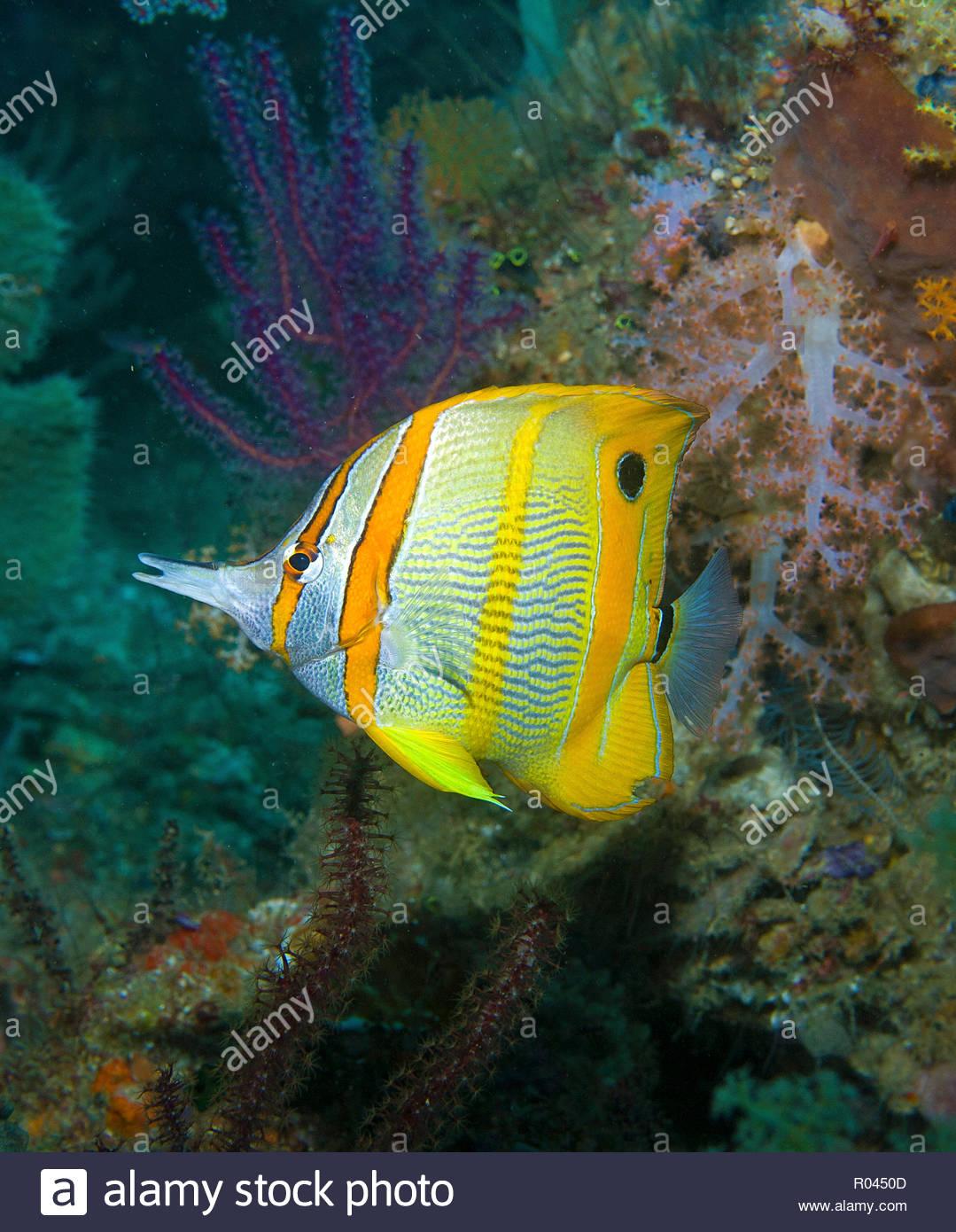 Long-beaked coralfish, Beaked butterflyfish or Copper-banded butterflyfish (Chelmon rostratus), Raja Ampat, Irian Jaya, Indonesia - Stock Image